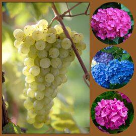 Cosa hanno in comune l'ortensia e l'uva?